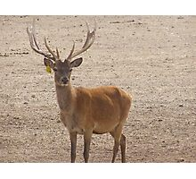 Such a gentle face! Farmed Red Deer. Mt. Pleasant. S.A. Photographic Print