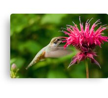 Hummingbird & Bee Balm Canvas Print