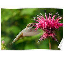 Hummingbird & Bee Balm Poster