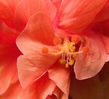 Orange Hibiscus Macro by Kim McClain Gregal
