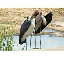 Maribou Stork Cleanup Photographic Print