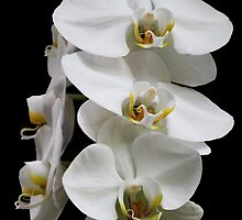 Pure Beauty by Judy Vincent