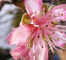 Peach Blossom by Maryanne Lawrence