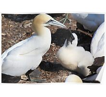 Nesting Gannets Poster