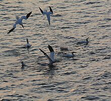 Diving Gannets by Agood