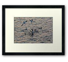 Diving Gannets Framed Print