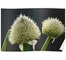 Onion Flowers Poster