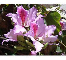 Orchid tree (bauhinia variegata/ chinensis) blossoms Photographic Print