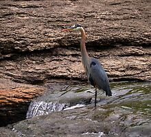 Great Blue Heron at the Falls by Catherine Sherman