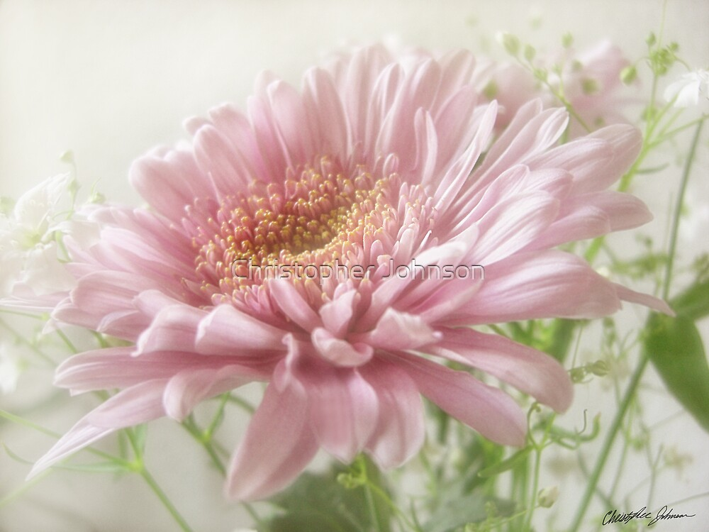 Pink Chrysanthemums 6 Glimmer by Christopher Johnson