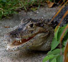 Crocodile In Miami by longaray2