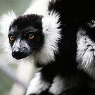 Black & White Ruffed Lemur by caradione