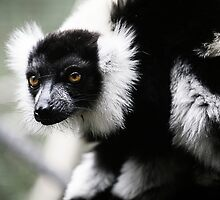 Black & White Ruffed Lemur by caradione