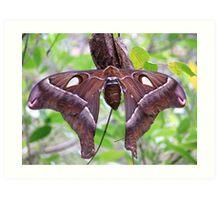 Female Hercules  moth Art Print