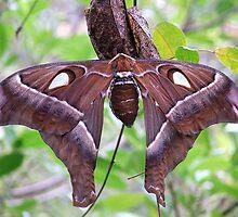 Female Hercules  moth by robmac
