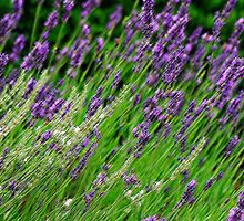 A sea of lavender by Heather Thorsen