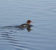 Merganser on the move by Michael Jenkins