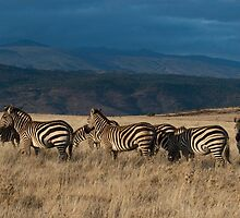 Zebras at Sunrise by Laurie L. Snidow