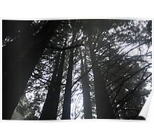Tree Canopy - Redwood Forest Poster