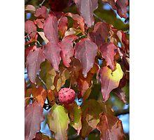 Dogwood fruit Photographic Print