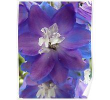 Bright Blue Delphinium Poster