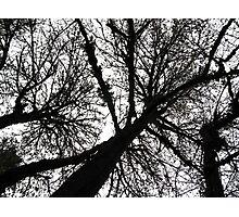 treetops 2 Photographic Print