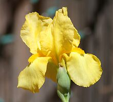 Bright Yellow Iris bloom by sbm-designs