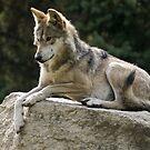 Grey Wolf by Joe Thill