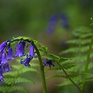 Bluebells, ferns and ladybird by Martin Griffett