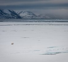Polar bear on Ice (Woodfjord - Svalbard) by Phil Bain