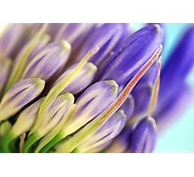 Agapanthus Buds Photographic Print