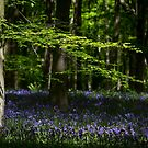 Beech and Bluebells by Martin Griffett