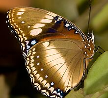 Euploea core corinna  by Shelley Warbrooke