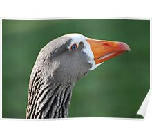 Domestic Goose Poster