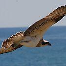 Osprey at eye level by bobbyverrills