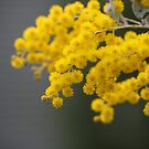 A wee bit of wattle... by Grahame Clark