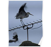 Heron v Magpie Poster