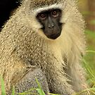 Vervet Monkey (Cercopithecus aethiops) by Konstantinos Arvanitopoulos