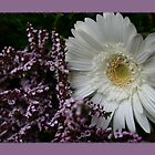 White gerbera daisy flower by PhotoCrazy6