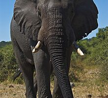 African Elephant (Loxodonta africana) by Konstantinos Arvanitopoulos