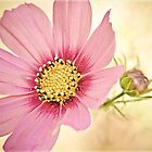 Pink Cosmos by ElidArt
