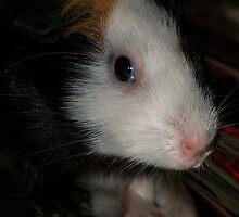 Guinea Pig by Godwin Jacob D'Souza