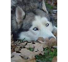 Leaves and Fall Husky Season Photographic Print