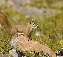 Squirrel in Jasper National Park, Canada. by Philippe Widling