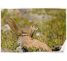 Squirrel in Jasper National Park, Canada. Poster