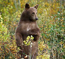 Cinnamon bear in Waterton National Park, Canada. by Philippe Widling