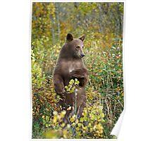 Cinnamon bear in Waterton National Park, Canada. Poster