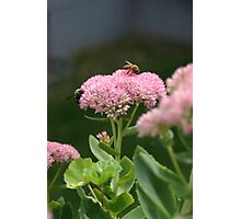 Bees On a pink and green shrub Photographic Print
