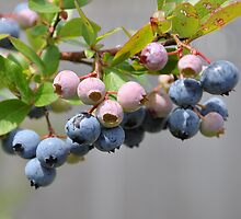 blueberries by cetrone
