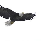 The Approach - American Bald Eagle by Barbara Burkhardt